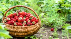 Basket of freshly picked strawberrise